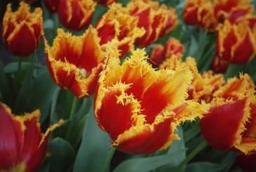 keukenhof, o parque das tulipas