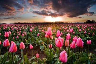 15 campos de flores ao redor do mundo