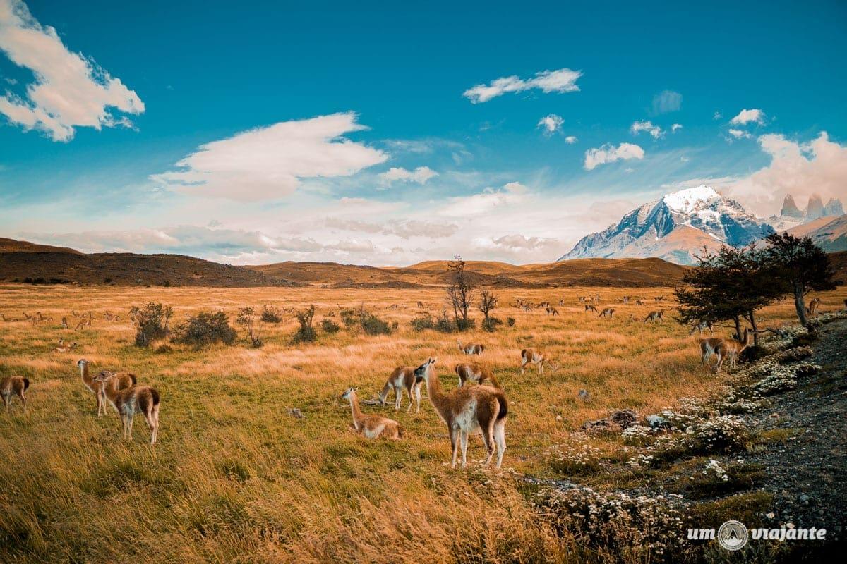 Vicunhas em Torres del Paine - Patagônia Chilena