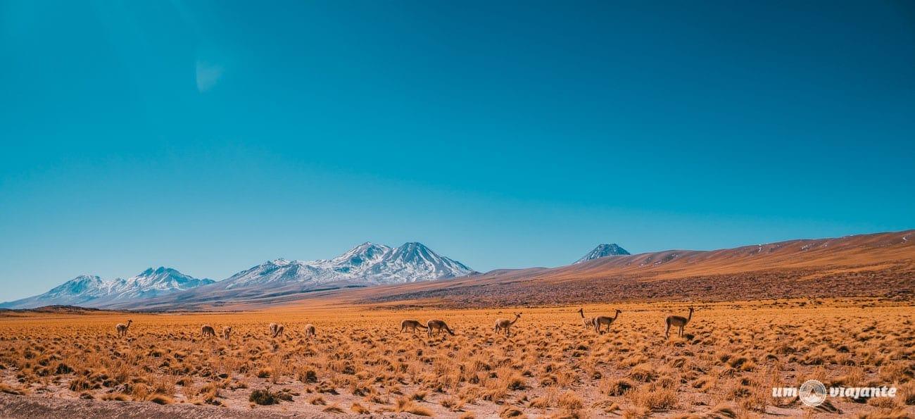 Vicuñas no Atacama - Lagunas Altiplânicas