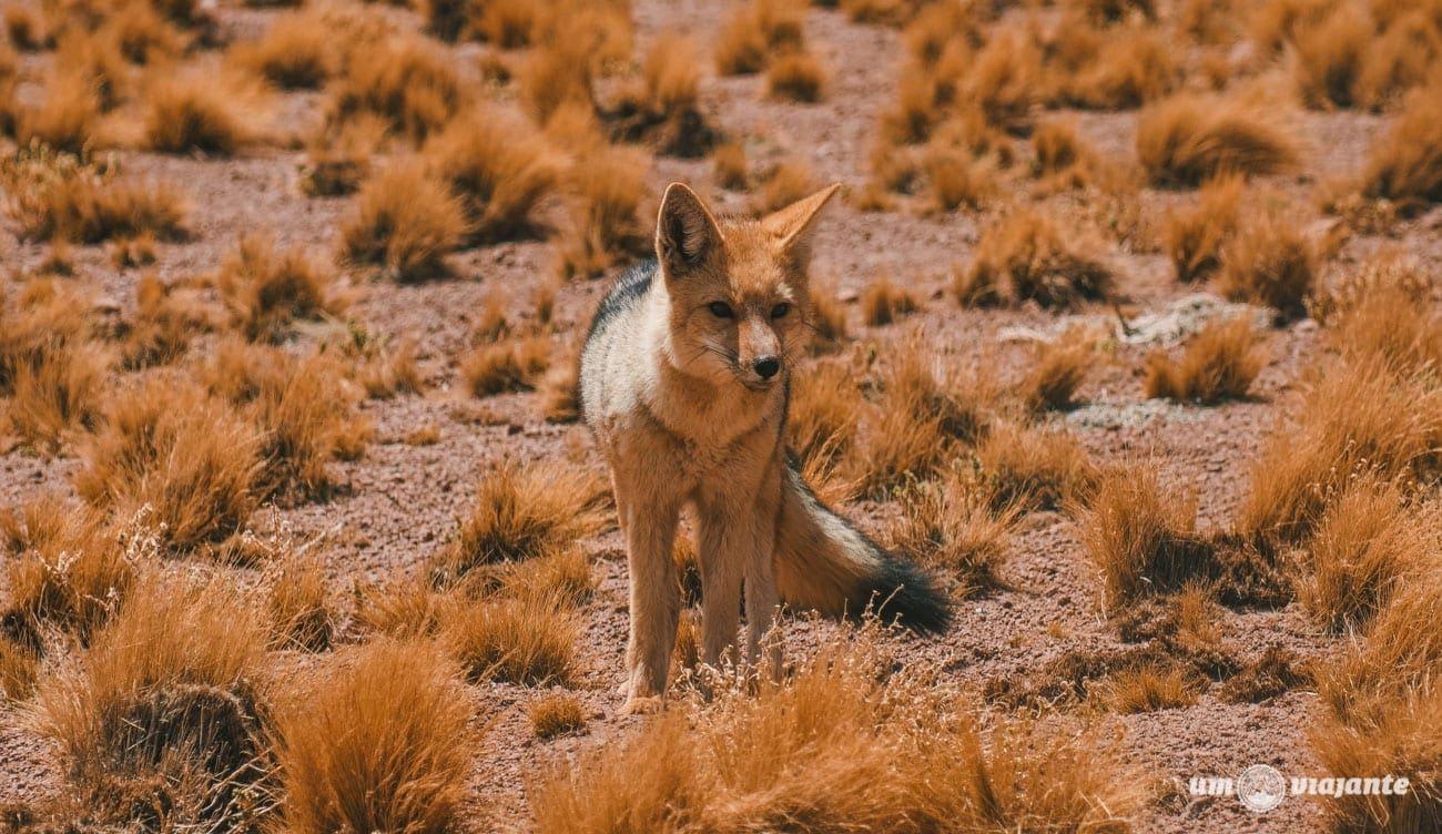 Raposa Selvagem no Deserto do Atacama - Lagunas Altiplânicas
