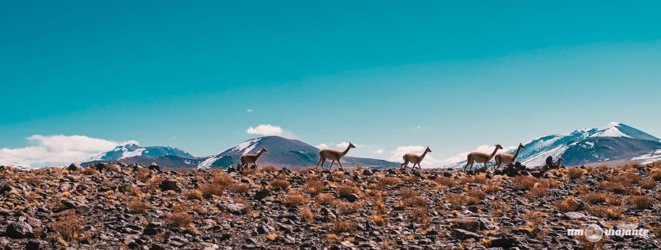 Vicuñas em Piedras Rojas, Atacama