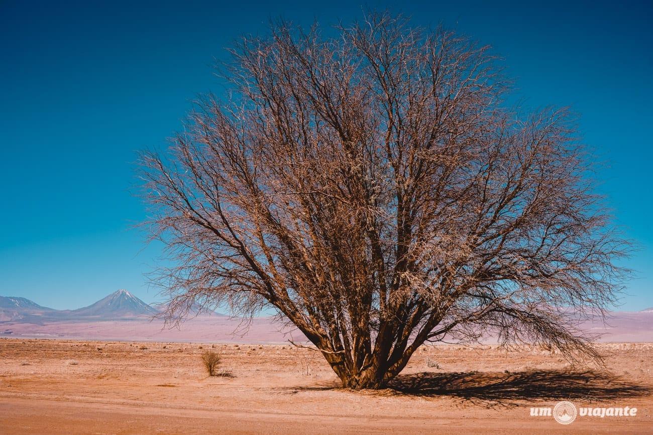 Setembro, Árvore no Deserto do Atacama