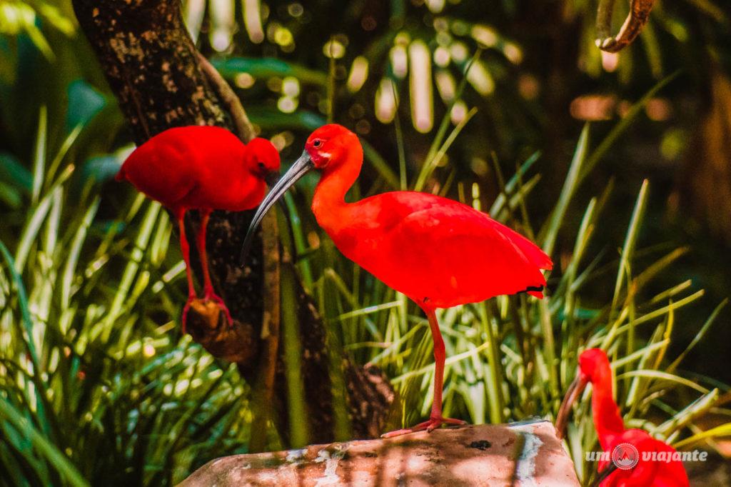 Guará - Parque das Aves - Foz do Iguaçu